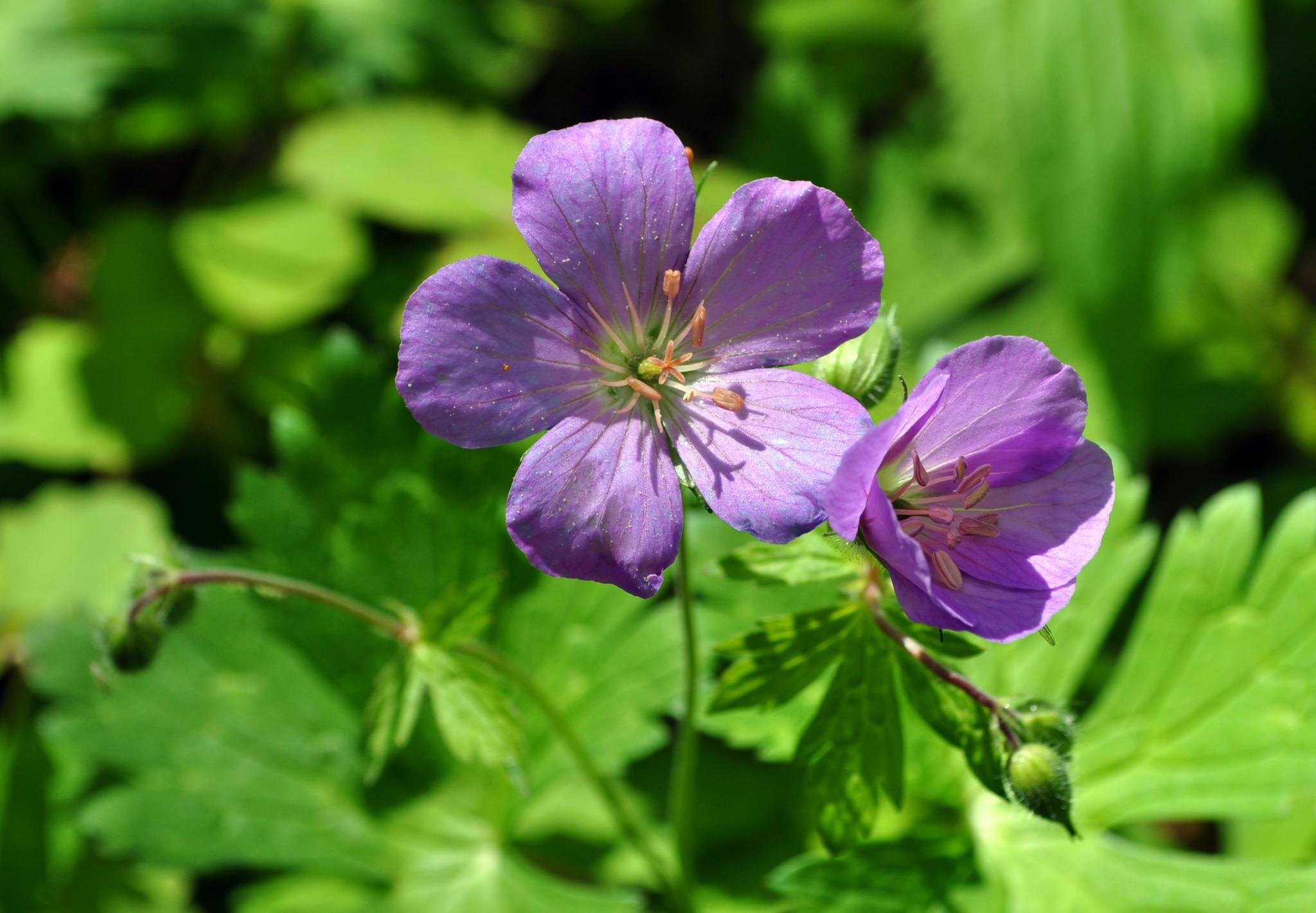 Wild Geranium, a New York City native plant